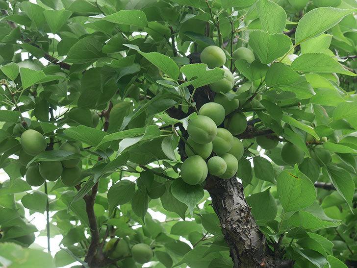 梅の実を収穫した。2019年-1.jpg