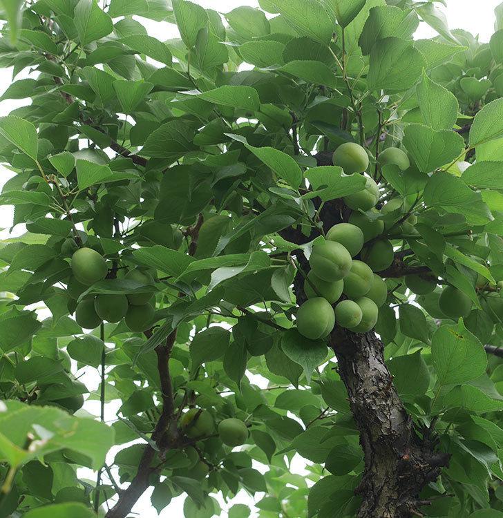 梅の実を収穫した。2019年-2.jpg
