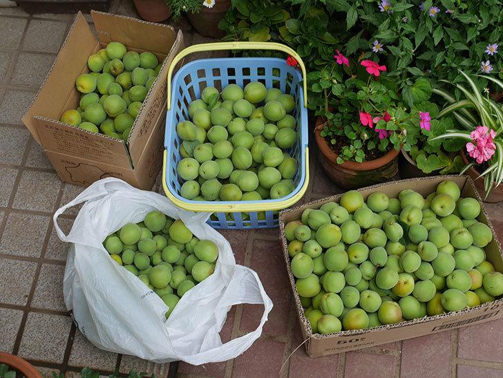 梅の実を収穫した。2019年-4.jpg