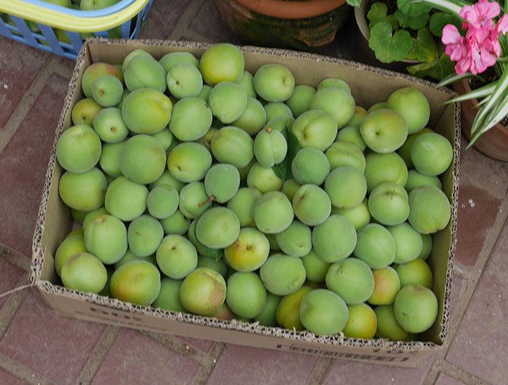 梅の実を収穫した。2019年-5.jpg
