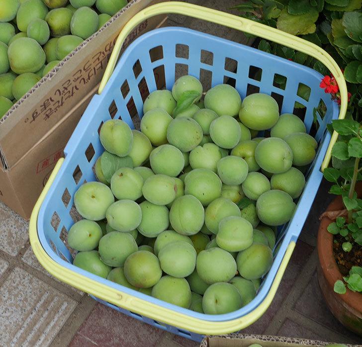 梅の実を収穫した。2019年-6.jpg