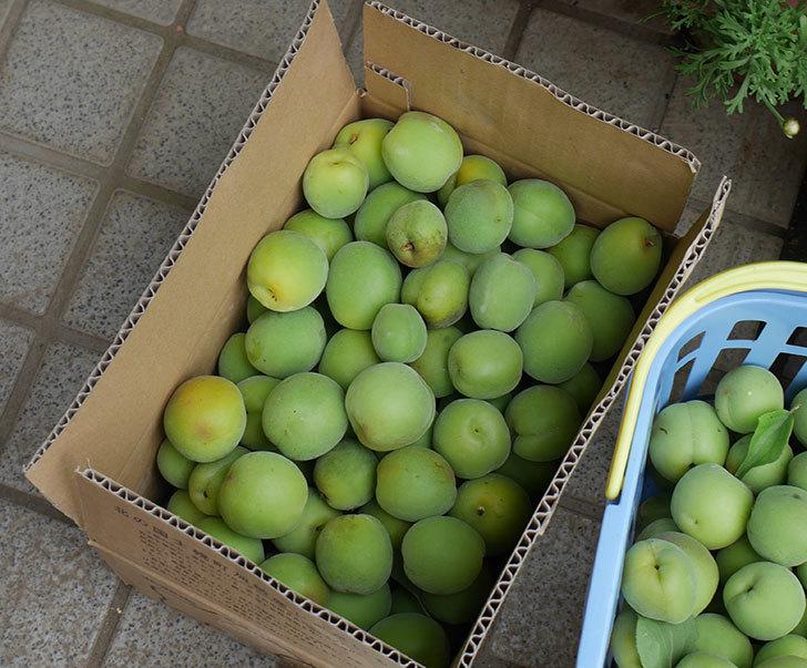 梅の実を収穫した。2019年-7.jpg