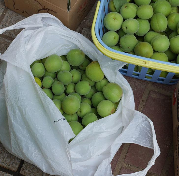 梅の実を収穫した。2019年-8.jpg