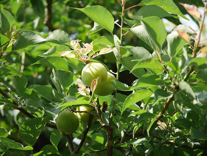 梅の実を収穫した。2020年-001.jpg