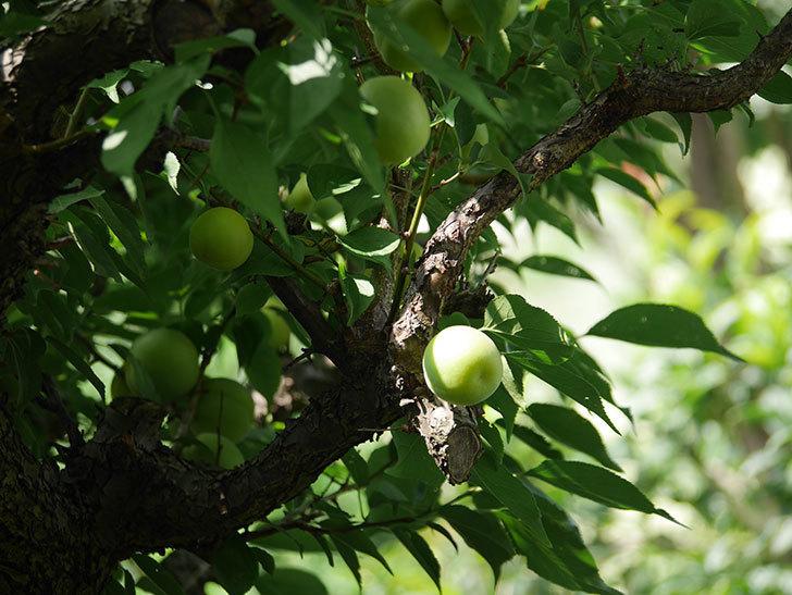 梅の実を収穫した。2020年-002.jpg