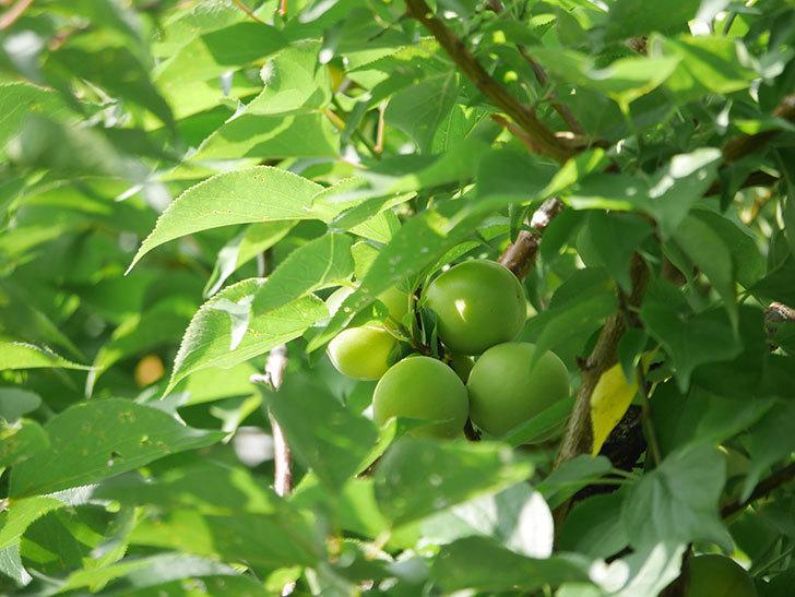 梅の実を収穫した。2020年-003.jpg
