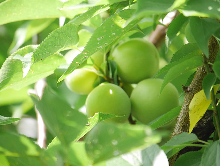 梅の実を収穫した。2020年-005.jpg