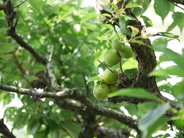 梅の実を収穫した。2020年-006.jpg