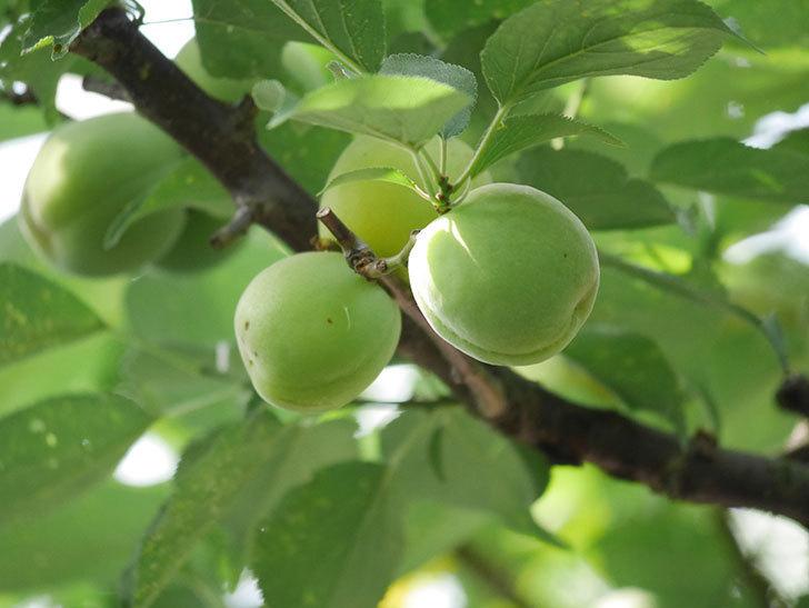 梅の実を収穫した。2020年-007.jpg