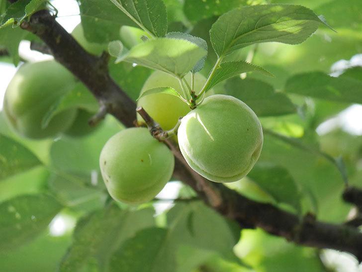梅の実を収穫した。2020年-008.jpg