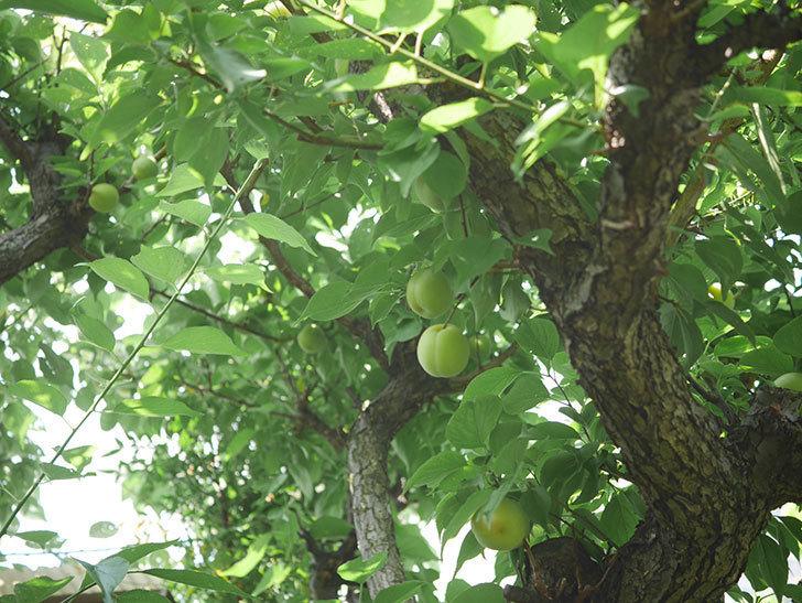 梅の実を収穫した。2020年-010.jpg