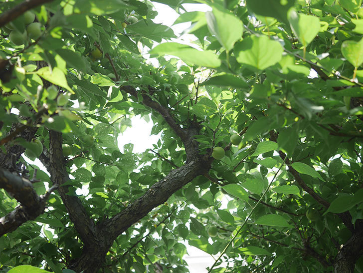 梅の実を収穫した。2020年-011.jpg