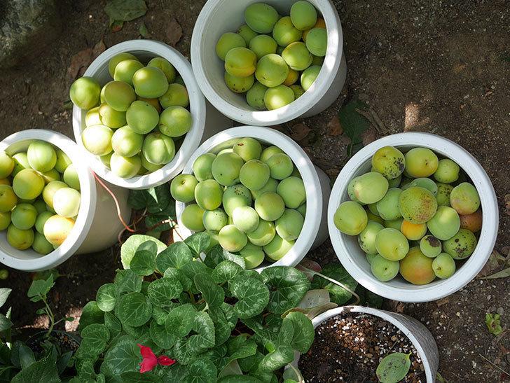 梅の実を収穫した。2020年-013.jpg