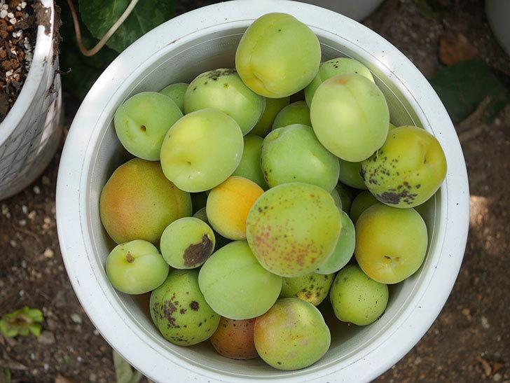 梅の実を収穫した。2020年-014.jpg