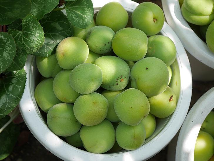梅の実を収穫した。2020年-015.jpg