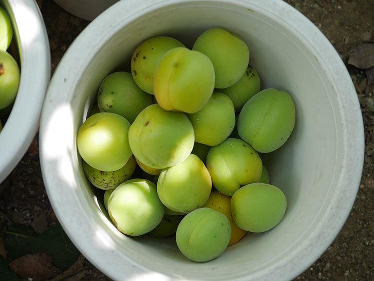 梅の実を収穫した。2020年-016.jpg