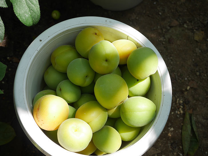 梅の実を収穫した。2020年-018.jpg