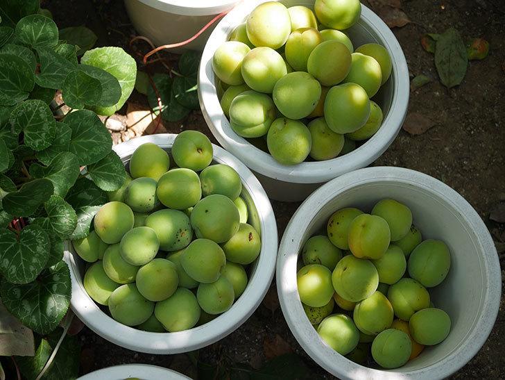 梅の実を収穫した。2020年-019.jpg