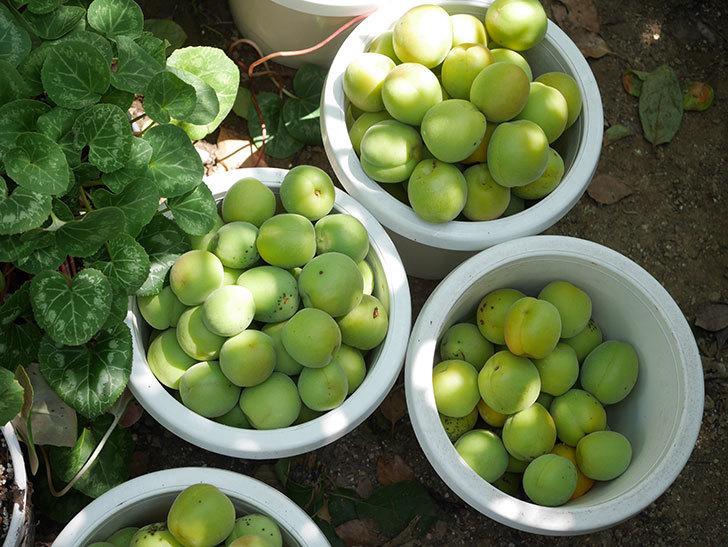 梅の実を収穫した。2020年-020.jpg