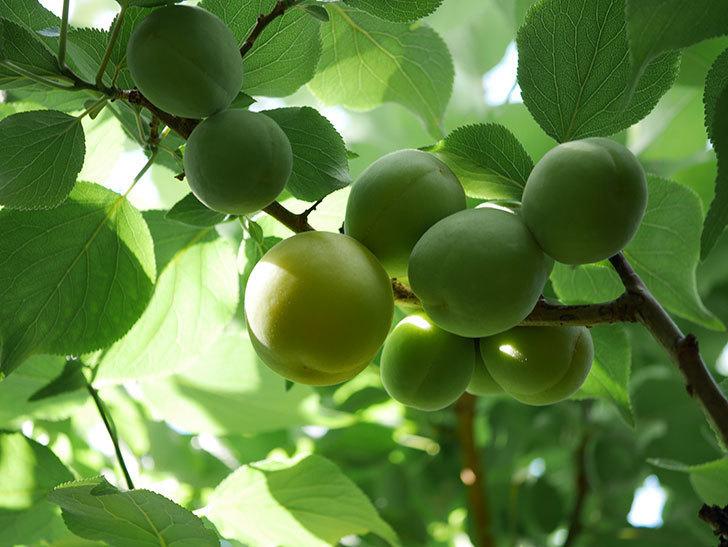 梅の実を収穫した。2021年-001.jpg