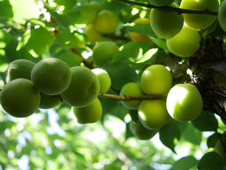 梅の実を収穫した。2021年-002.jpg