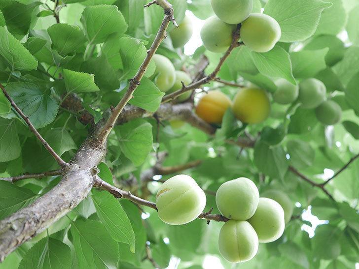 梅の実を収穫した。2021年-003.jpg