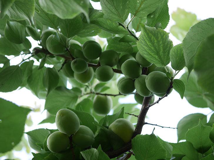 梅の実を収穫した。2021年-004.jpg