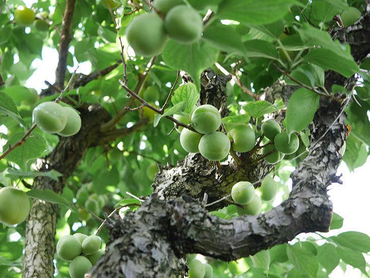 梅の実を収穫した。2021年-005.jpg