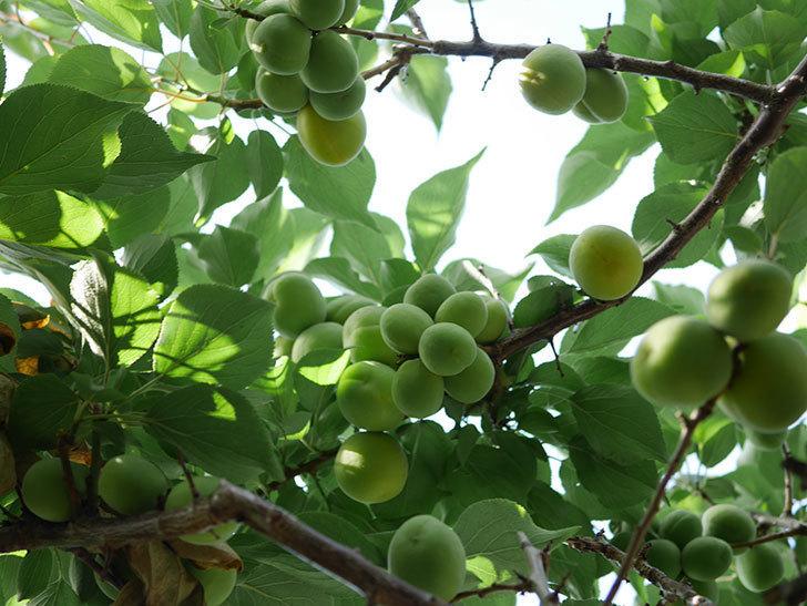 梅の実を収穫した。2021年-008.jpg