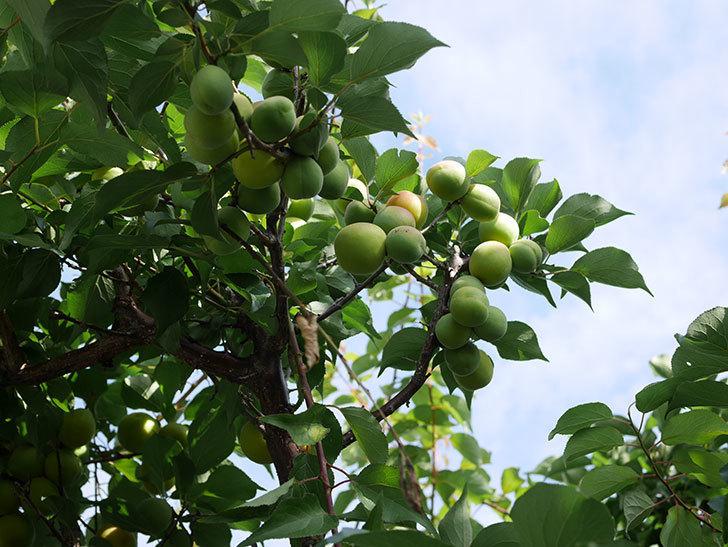 梅の実を収穫した。2021年-009.jpg