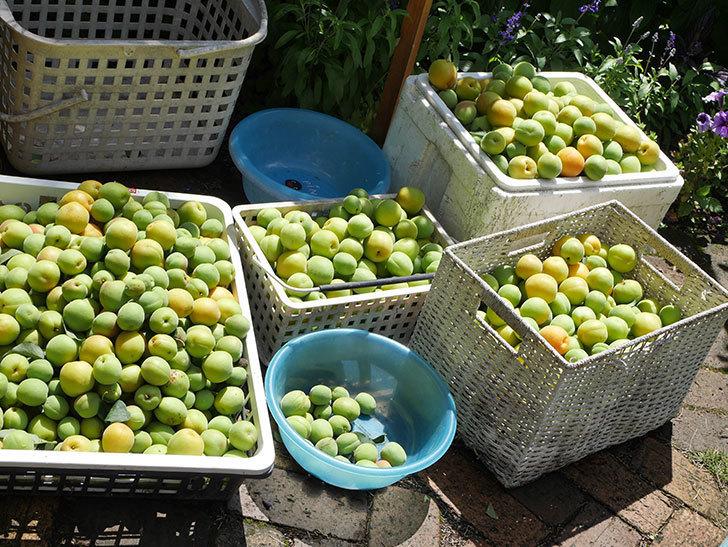 梅の実を収穫した。2021年-011.jpg