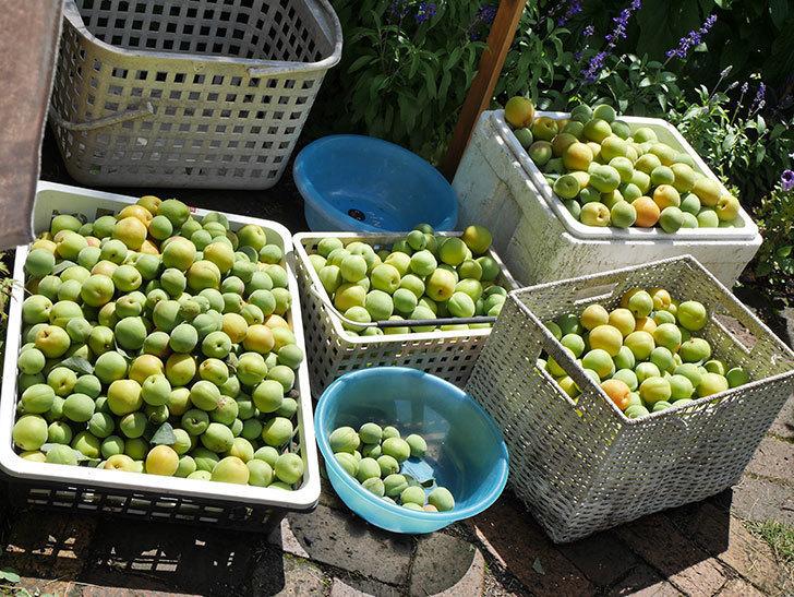 梅の実を収穫した。2021年-012.jpg
