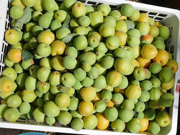 梅の実を収穫した。2021年-013.jpg