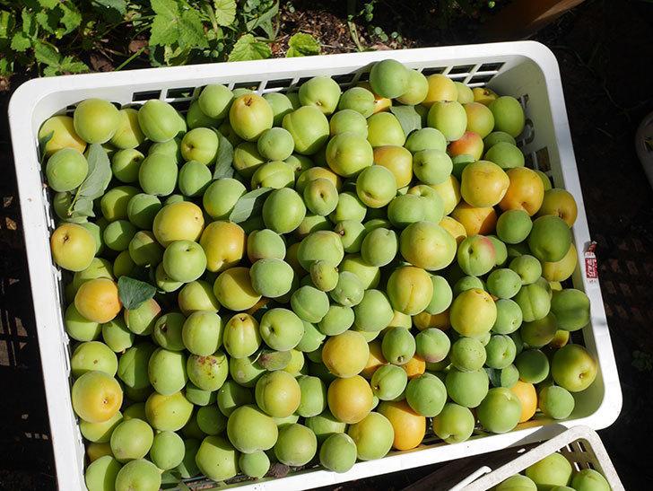 梅の実を収穫した。2021年-014.jpg