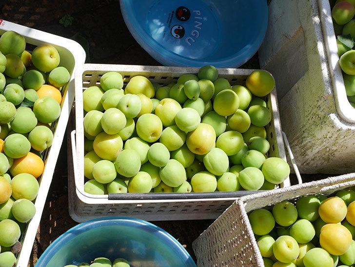 梅の実を収穫した。2021年-015.jpg