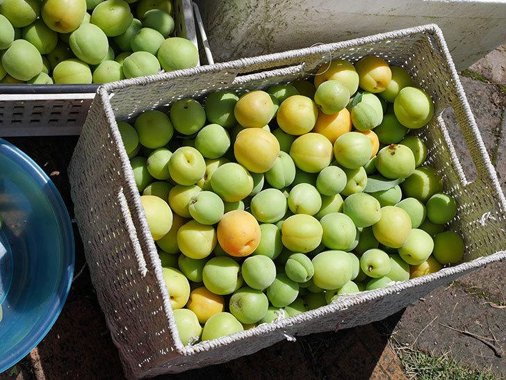 梅の実を収穫した。2021年-016.jpg