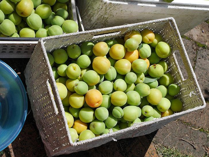 梅の実を収穫した。2021年-017.jpg