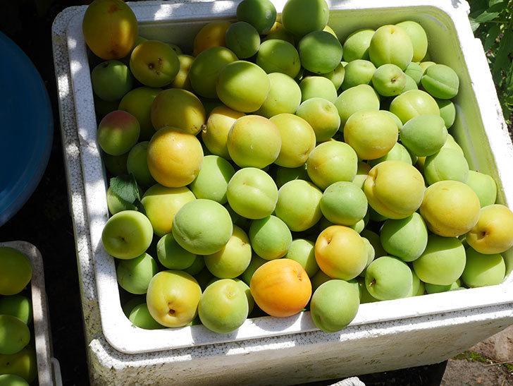 梅の実を収穫した。2021年-018.jpg