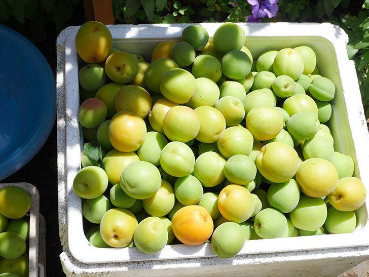 梅の実を収穫した。2021年-019.jpg