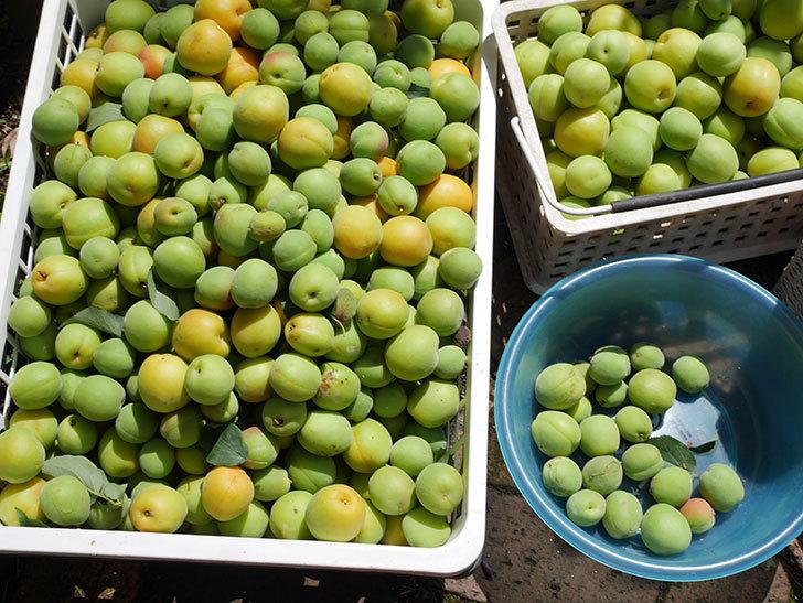 梅の実を収穫した。2021年-021.jpg