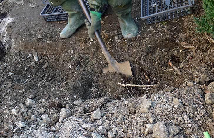 梅の木に寒肥として乾燥醗酵牛糞を施した15.jpg