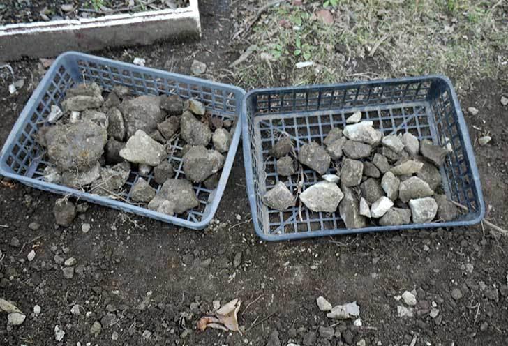 梅の木に寒肥として乾燥醗酵牛糞を施した24.jpg