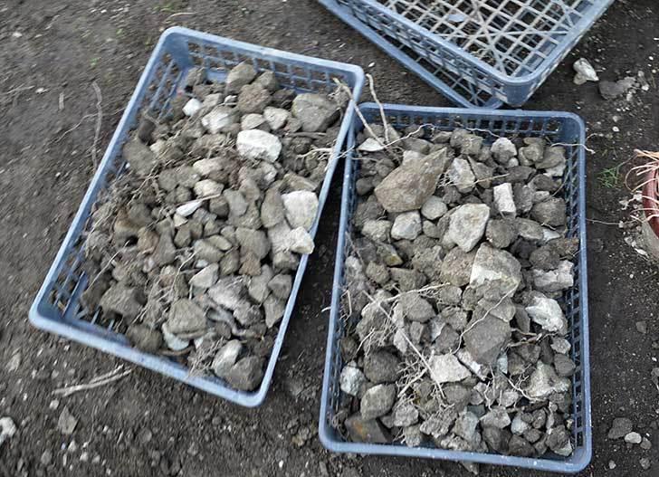 梅の木に寒肥として乾燥醗酵牛糞を施した25.jpg
