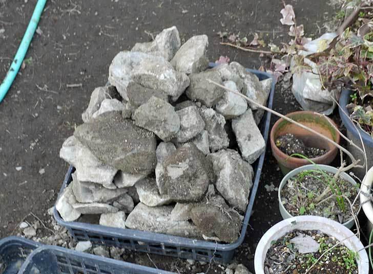 梅の木に寒肥として乾燥醗酵牛糞を施した26.jpg