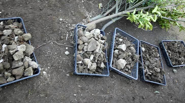梅の木に寒肥として乾燥醗酵牛糞を施した27.jpg