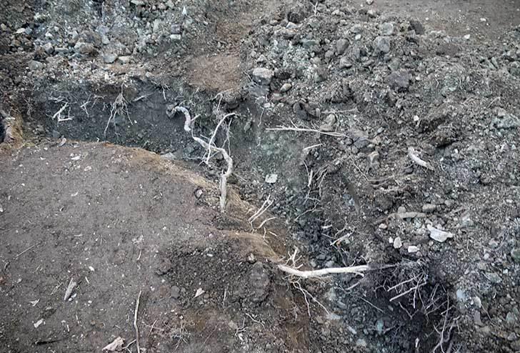梅の木に寒肥をやるために溝を掘った13.jpg