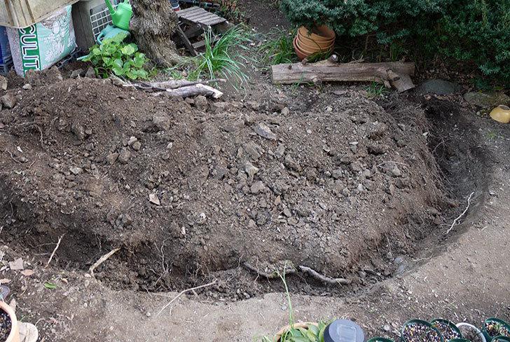 梅の木に寒肥をやるための穴掘りをした。2016年-1.jpg