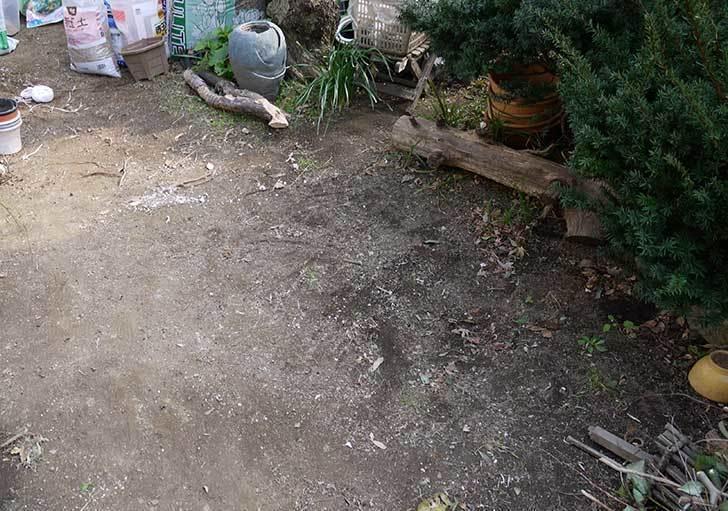 梅の木に寒肥をやるための穴掘りをした。2016年-2.jpg