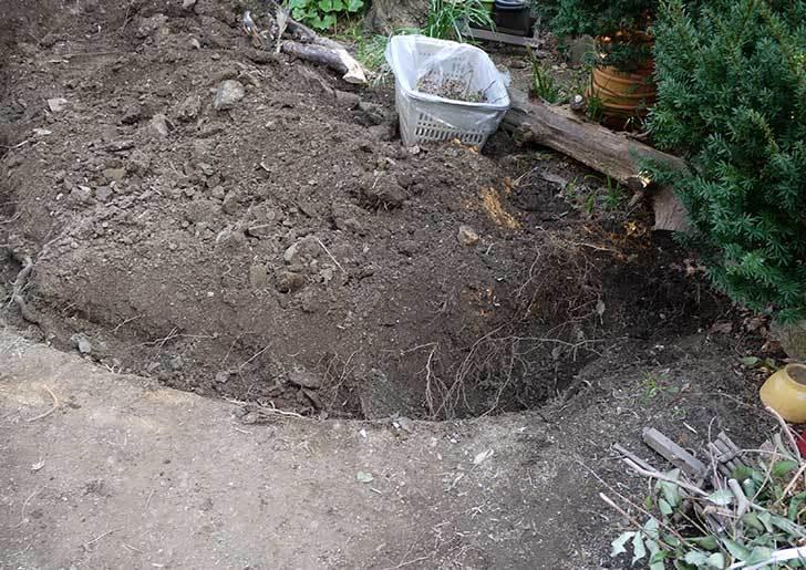 梅の木に寒肥をやるための穴掘りをした。2016年-4.jpg