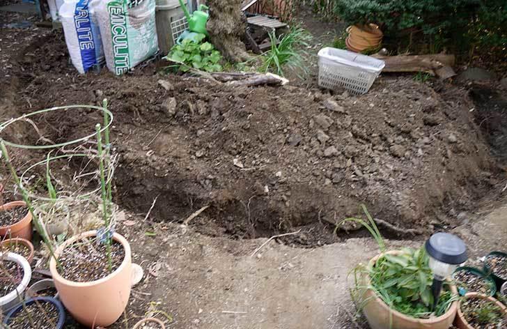 梅の木に寒肥をやるための穴掘りをした。2016年-9.jpg